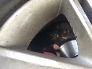 Котёнок под колесом. Фото Евгении Осиповой.