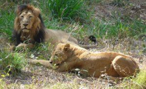 Бангалор. Национальный парк, лев и львица
