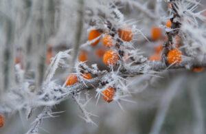 Зима, ягоды на ветке
