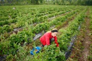 Финляндия, ферма, клубника