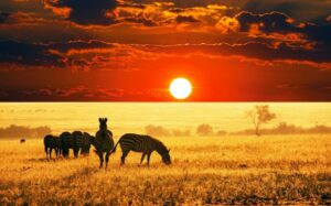 Природа, зебры