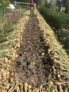 В огороде, лук, чеснок